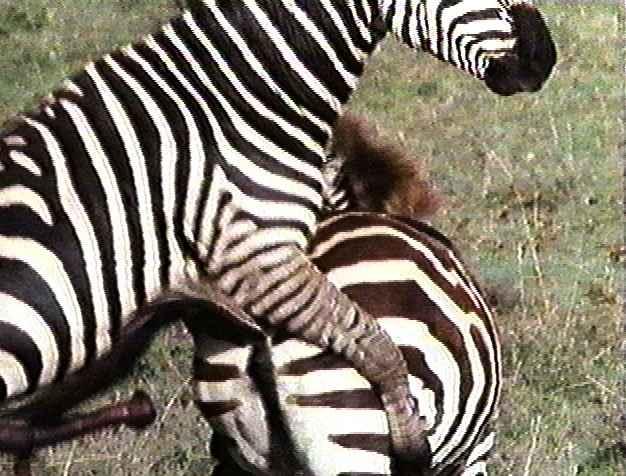 Zebras mating - photo#6