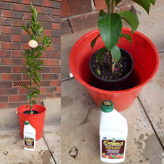 Start to grow growing citrus in a pot for When to transplant lemon tree seedlings