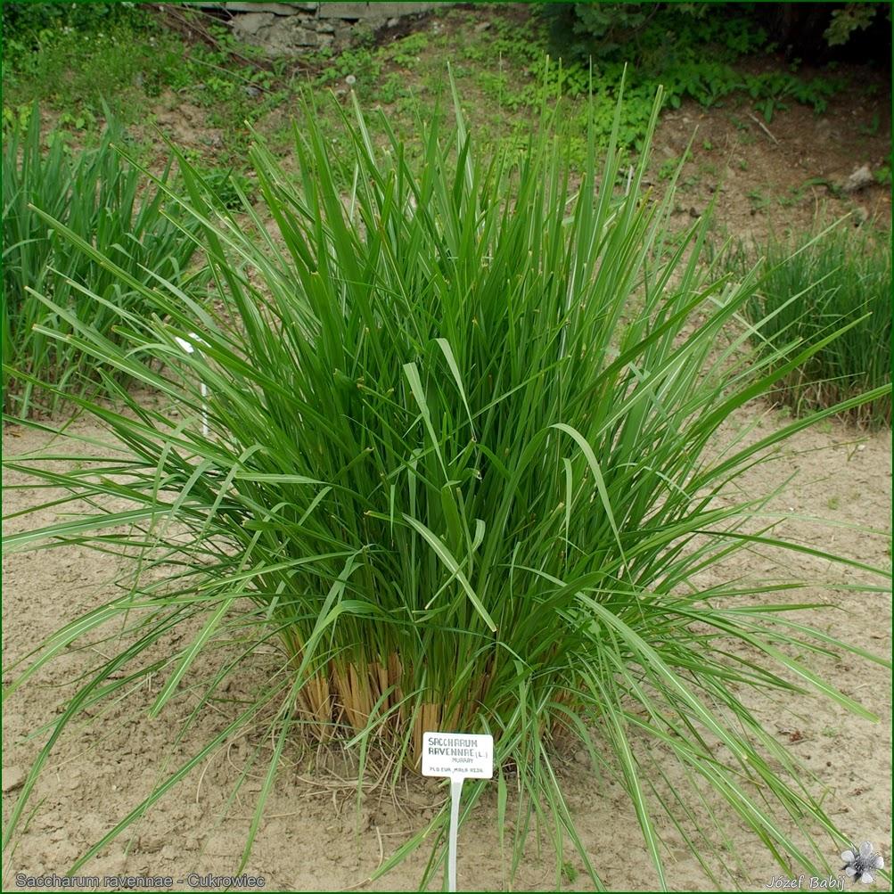 http://plantsgallery.blogspot.com/2014/02/erianthus-ravennae-saccharum-ravennae.html