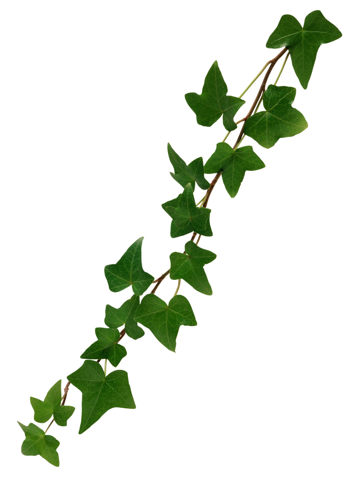 Free HD Leaves PNG Format