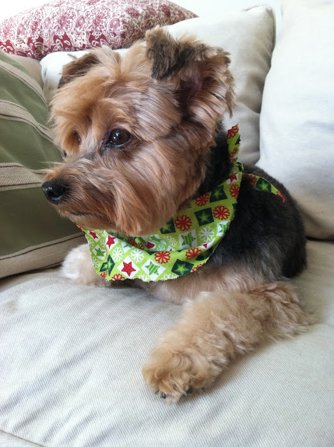 Yorkie-Priscilla-After-The-Groomer