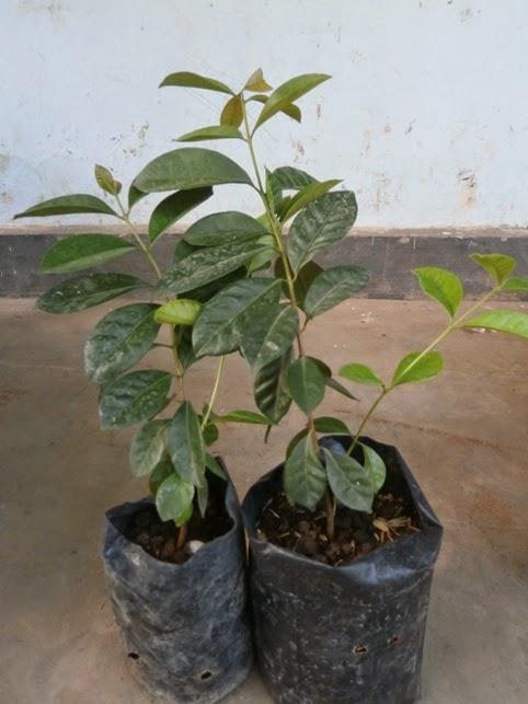 Bibit Cherry Guava Unggul