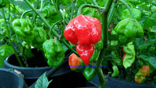 Trinidad Butch T Scorpion chiles, superhotchiles.com