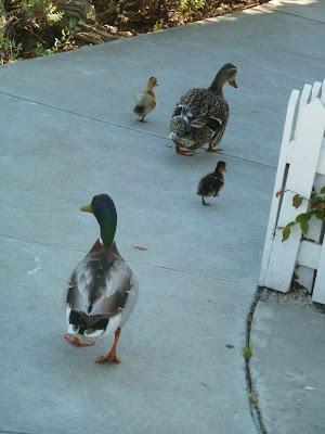 Duck Traffic Jam