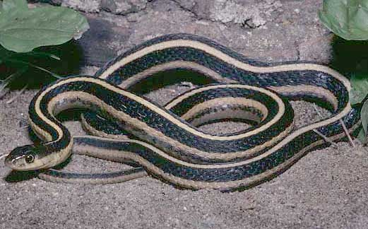 Common Garter Snake Pictures Info