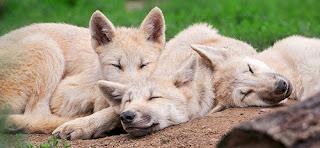Pile o'wolves