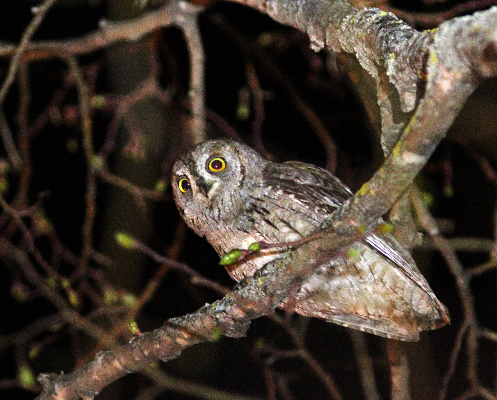 Western Scop's Owl