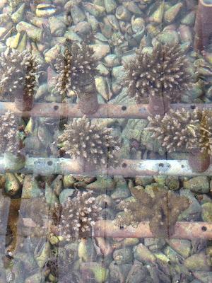 体験/観光 環境体験 サンゴの苗作り