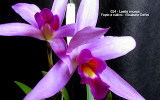 Laelia anceps  do blogdabeteorquideas