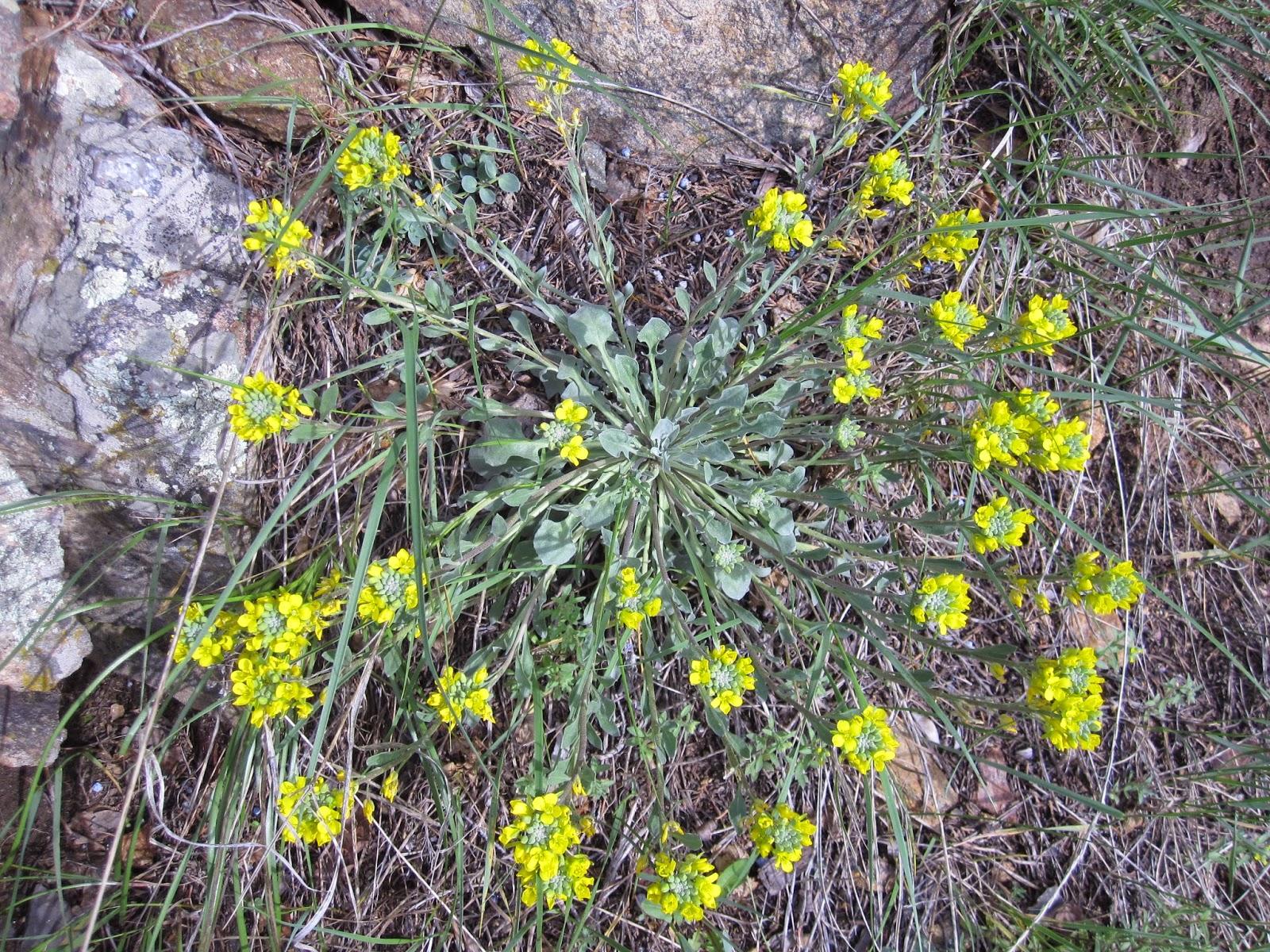 Innie me colorado wildflowers yellow fiddleleaf twinpod mount falcon mightylinksfo