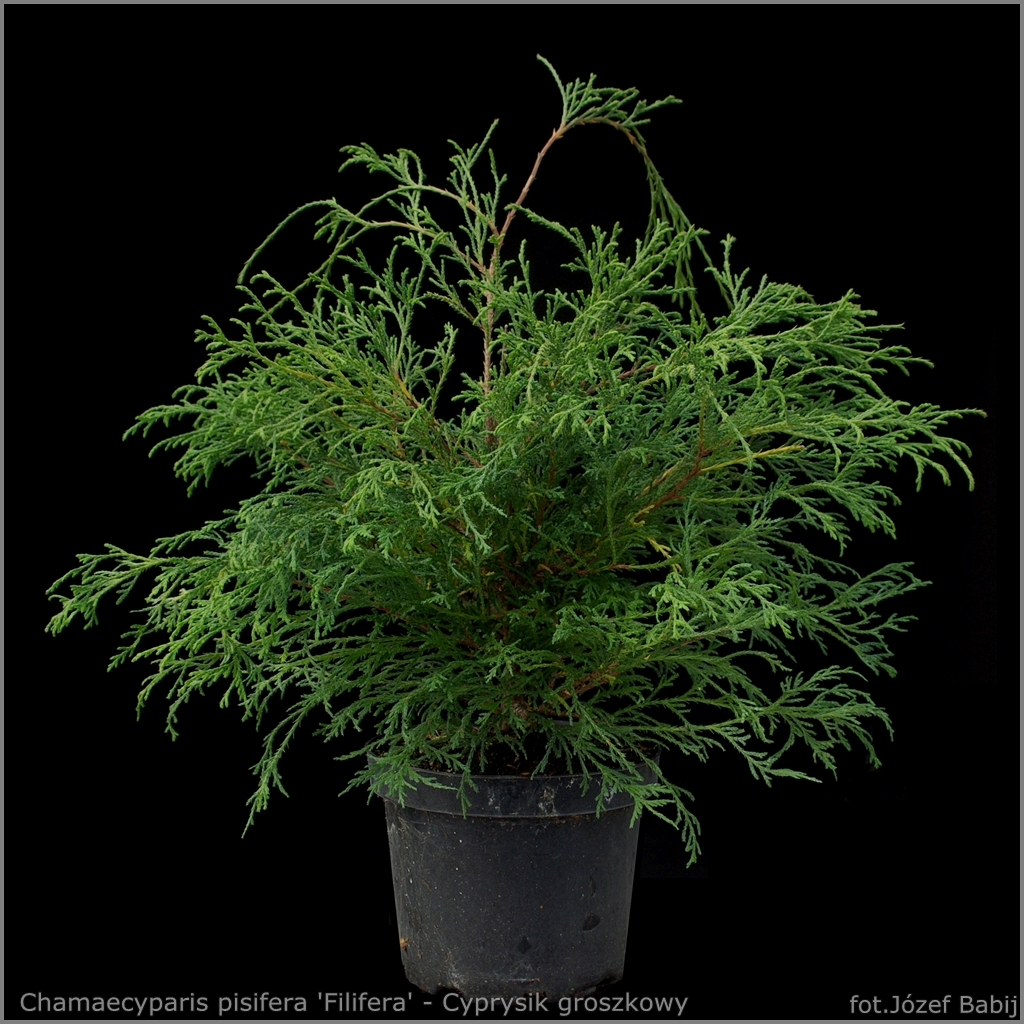 Chamaecyparis pisifera 'Filifera' - Cyprysik groszkowy 'Filifera'