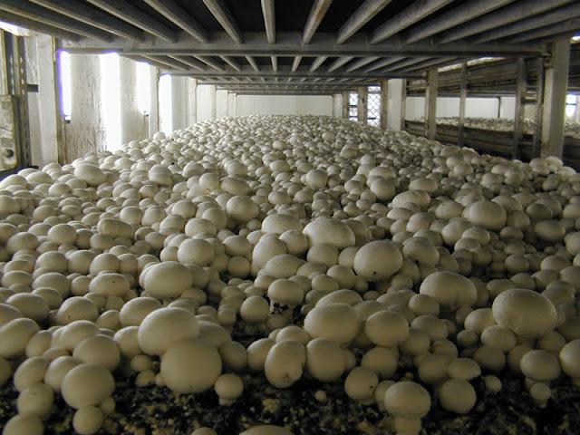 mushroom cultivation process