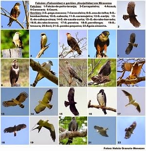 Falcões e Gaviões registrados em MIracema (clique na imagem)