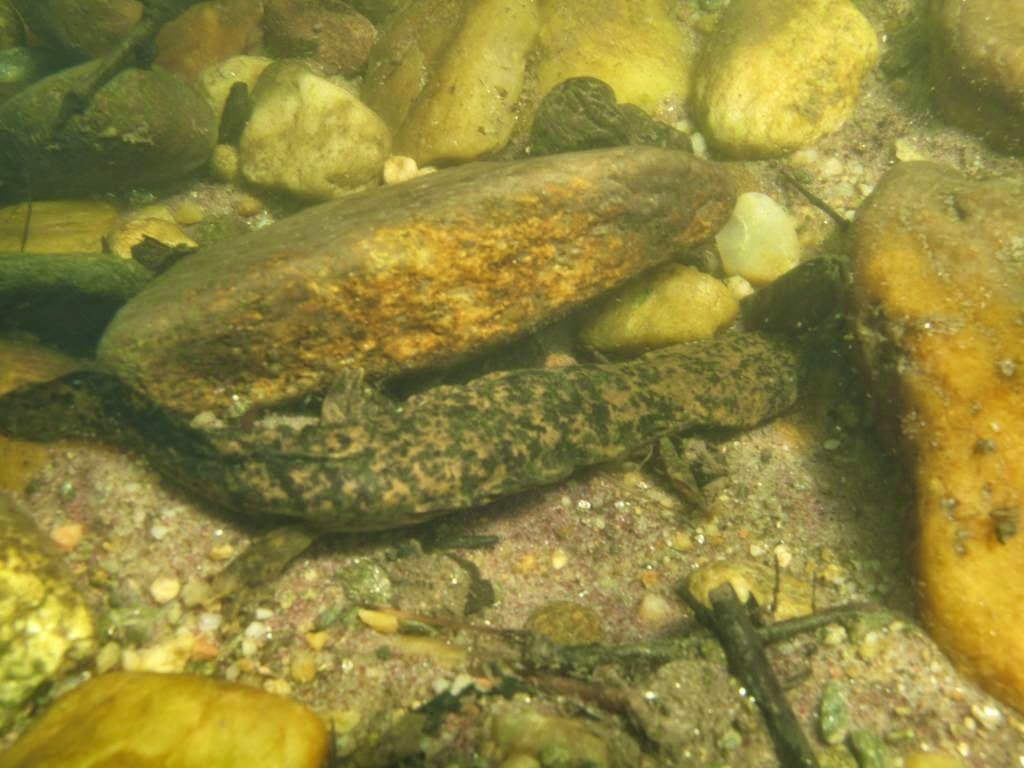 The Hellbender: Giant Salamander of the United States The Ark In ...