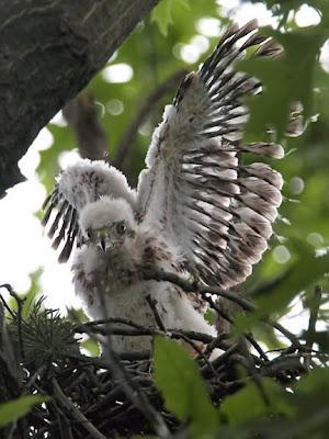 Cooper's Hawk Chick
