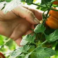 tomate solis