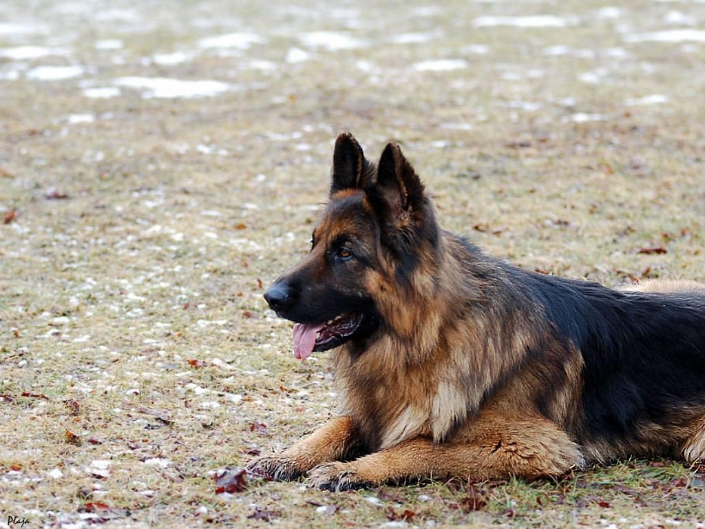 German Shepherd Wallpapers | Fun Animals Wiki, Videos, Pictures ... German Shepherd Dog Reviews
