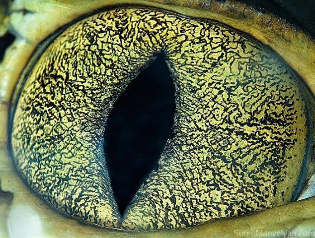 ojo de caiman