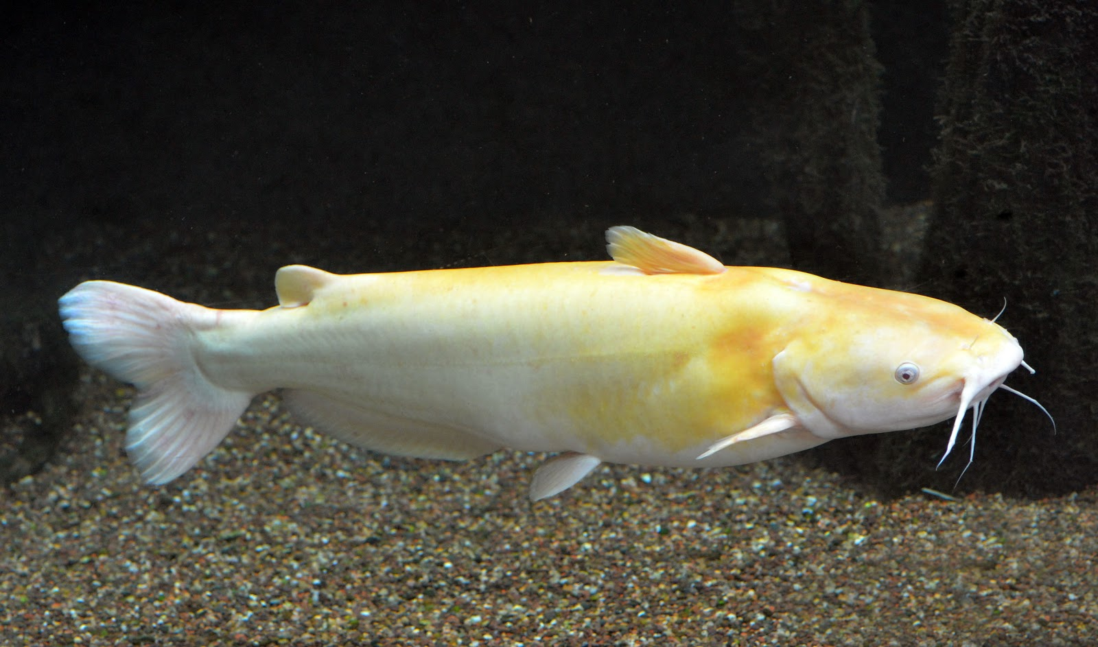"This ""white"" catfish is actually an amelanistic channel catfish."