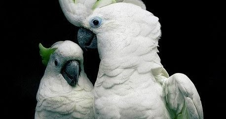 Alluring Planet Greater Sulfur Crested Cockatoo