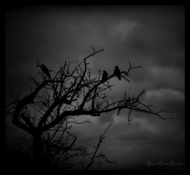 Duesteres dunkles  Bild auf dem 3 Kräher auf einem alten knorrigen Baum sitzen
