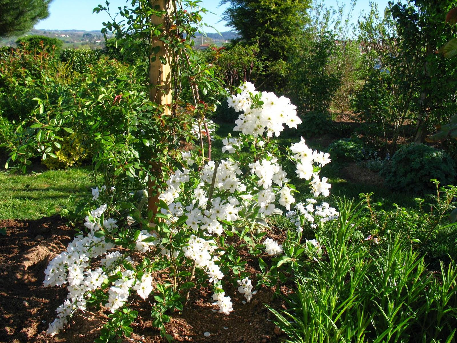 Roses du jardin ch neland exochorda macrantha the bride - Jardin de chen ...