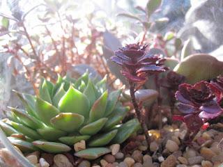 miniature cactus