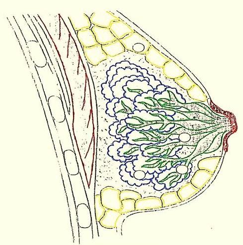 anatomia+mama LACTANCIA: ANATOMIA Y FISIOLOGIA
