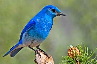 http://www.statesymbolsusa.org/Nevada/bird_mountain_bluebird.html