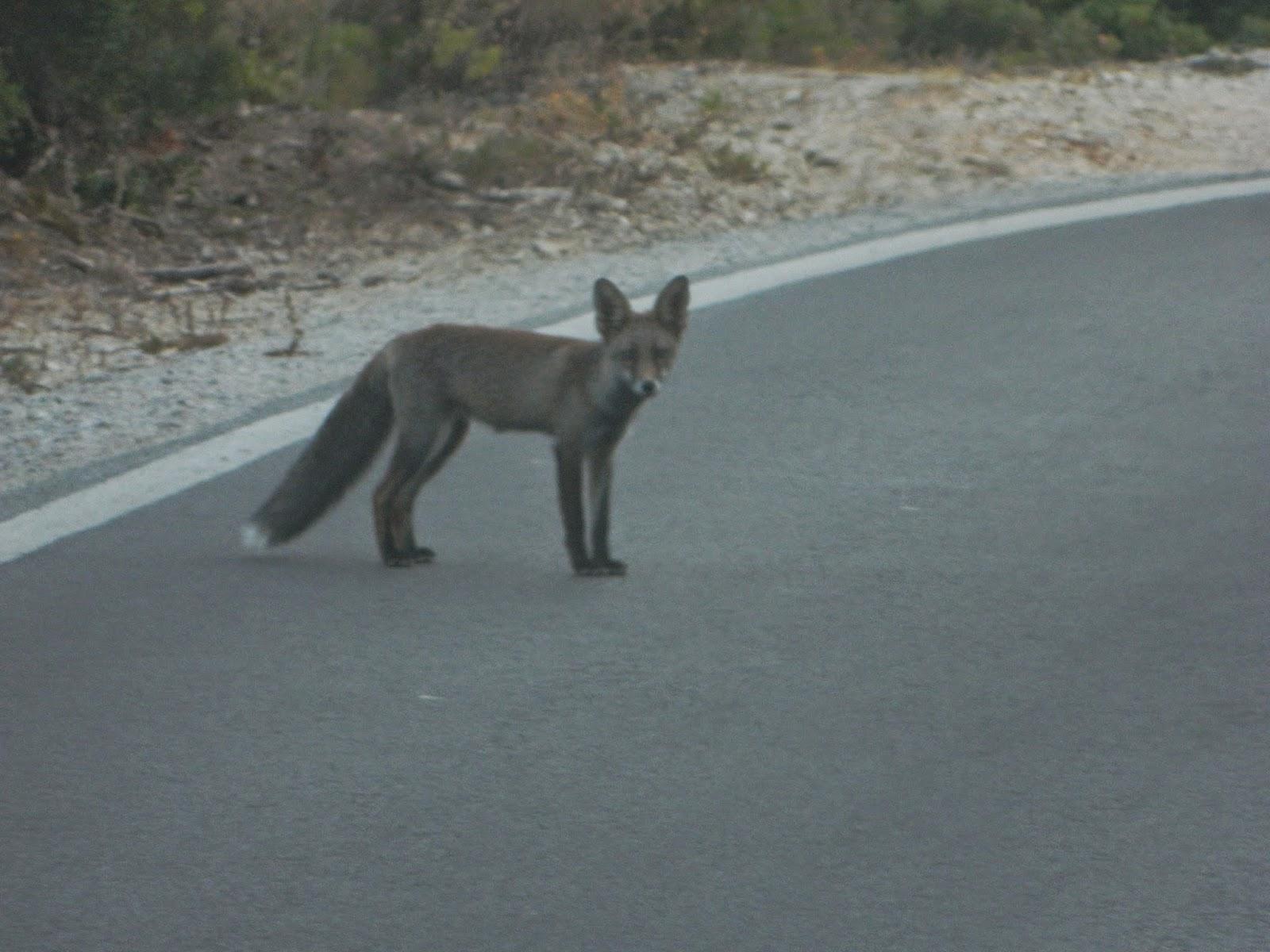 fox, arrábida