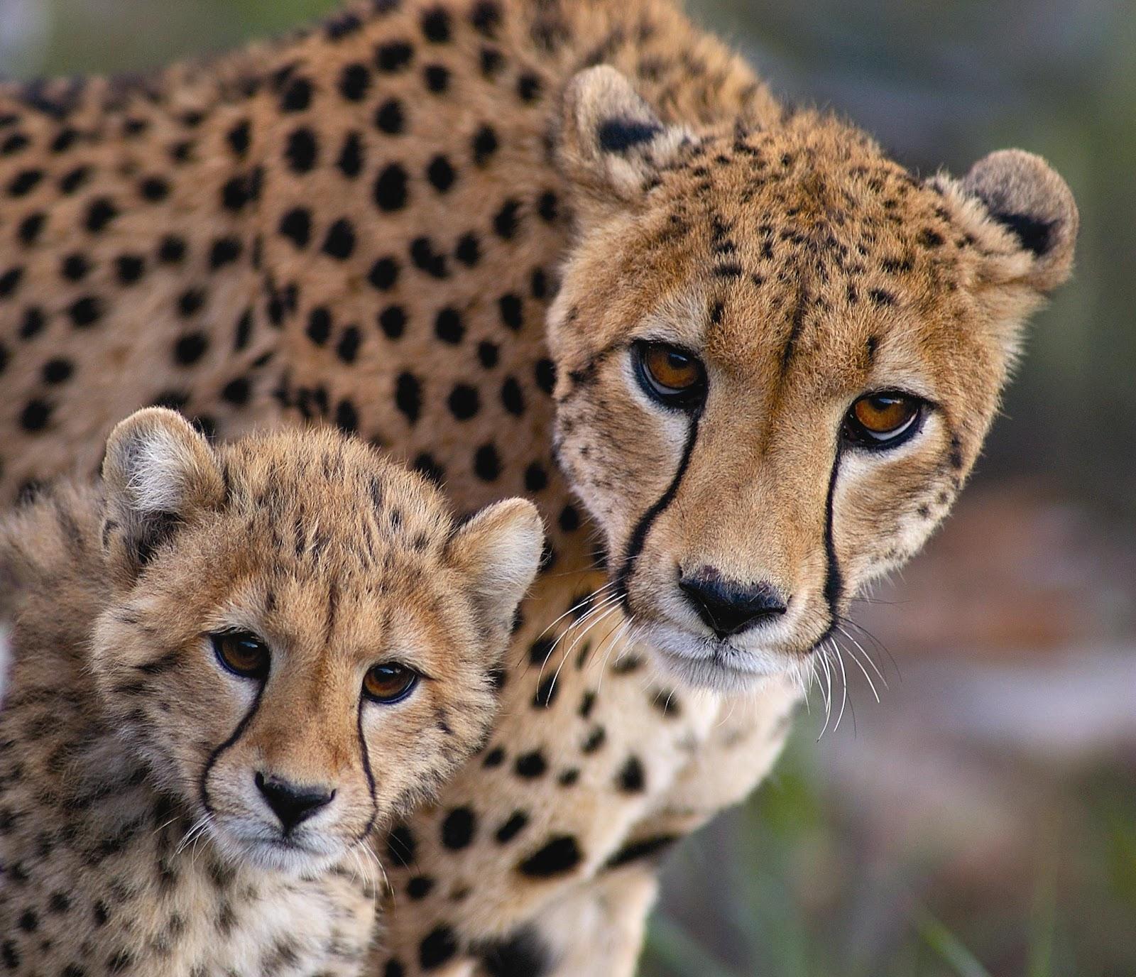 Вопросы и ответы о гепарде и гепардах