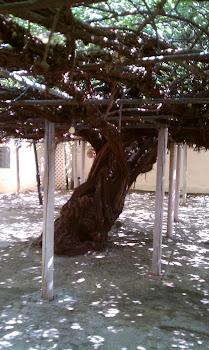 Rose Tree Museum