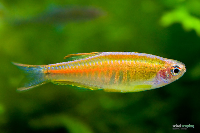 Hardy freshwater fish for beginners exotic tropical for Freshwater schooling fish