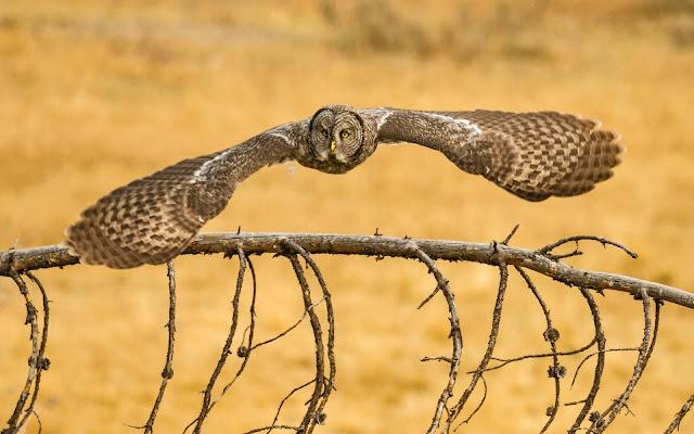 Búho Lechuza volando imagenes de aves exoticas