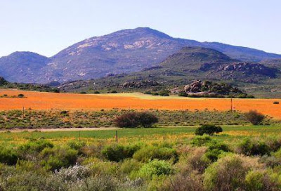 Cederberg-Mountain-Flowers-Western-Cape
