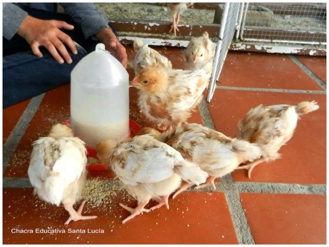 Pollitos ya crecidos comiendo ración - Chacra Educativa Santa Lucía