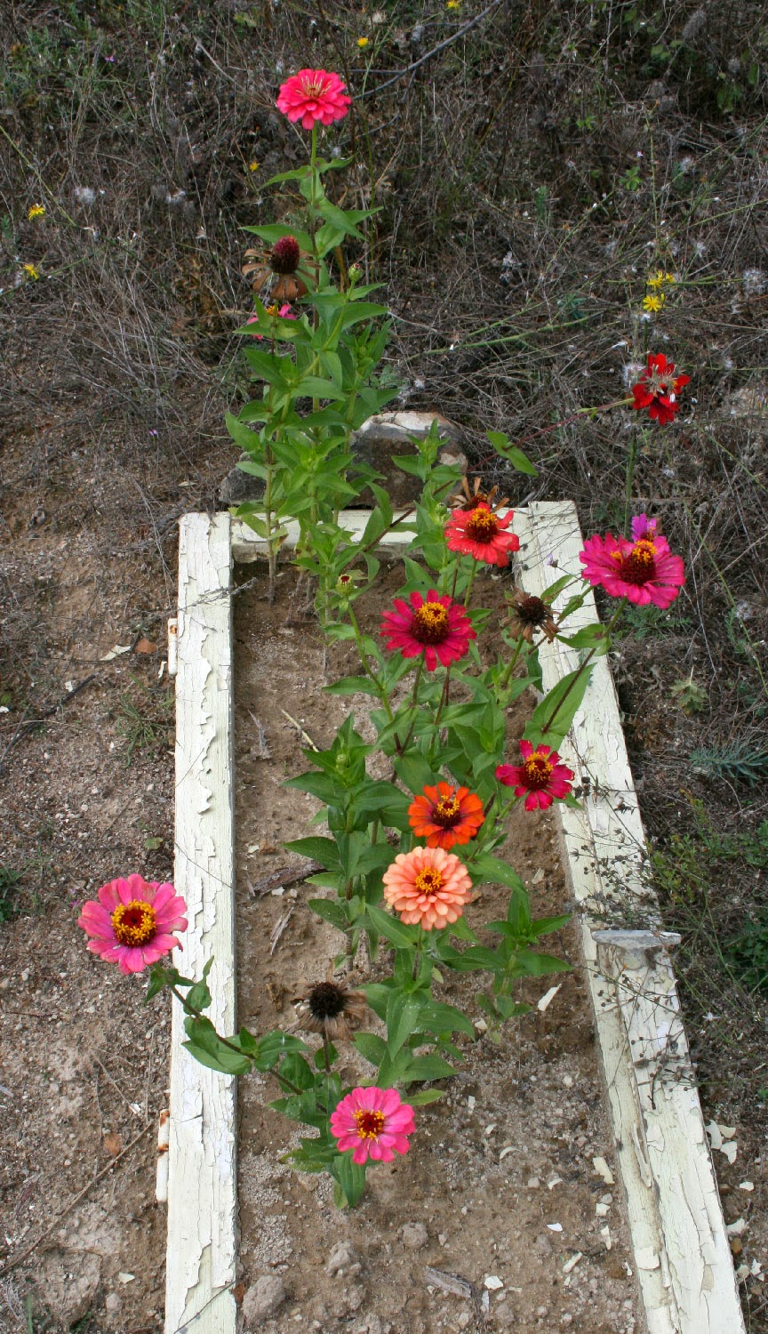 Zinnias still look lovely