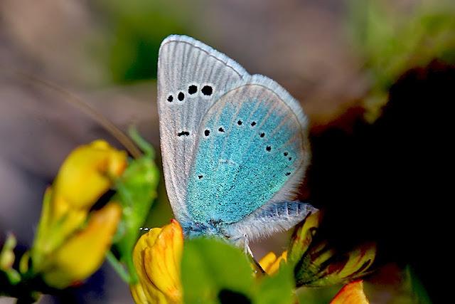 Tierfotos - Schmetterlinge - Tagfalter - Alexis-Bläuling