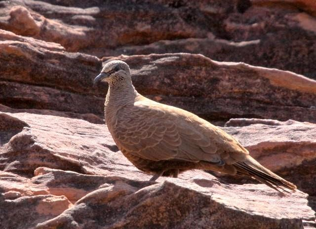White quilled rock pigeon
