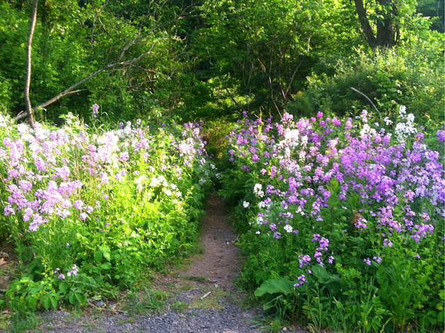 wildflower lined path to the Beaverkill river, NY