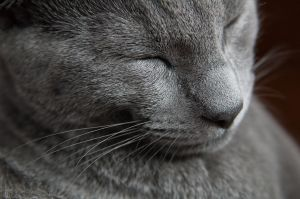 RUSSIAN BLUE CATS, by Jason