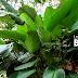La Hoja de Bijao, el secreto de la Gastronomía Amazónica.