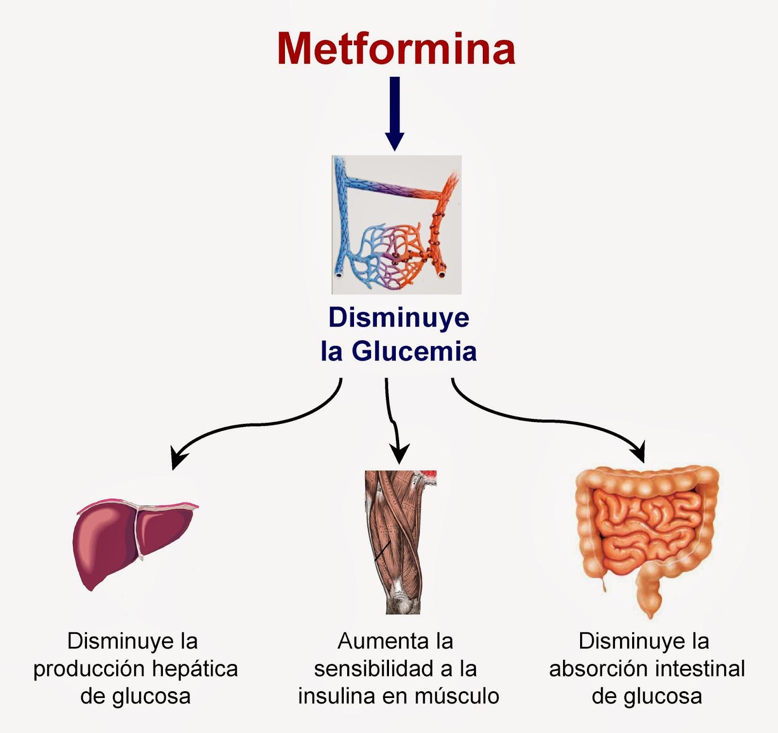 Mecanismo de la metformina para disminuir la glucemia
