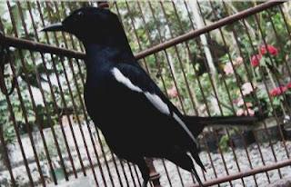 merawat-burung-saat-musim-kemarau