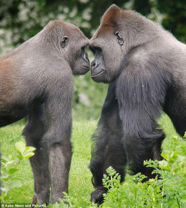 Gorilla Fighting Other Animals Lowland gorillas go head