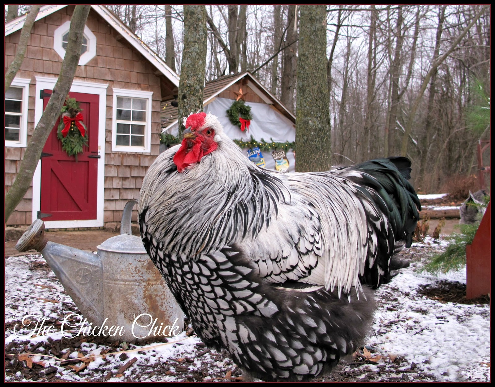 Tips For Selecting Chicken Breeds The Breed I Need The