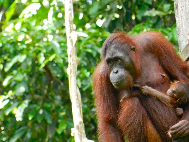 where to see orangutans - sepilok orangutan rehabilitation centre, Borneo