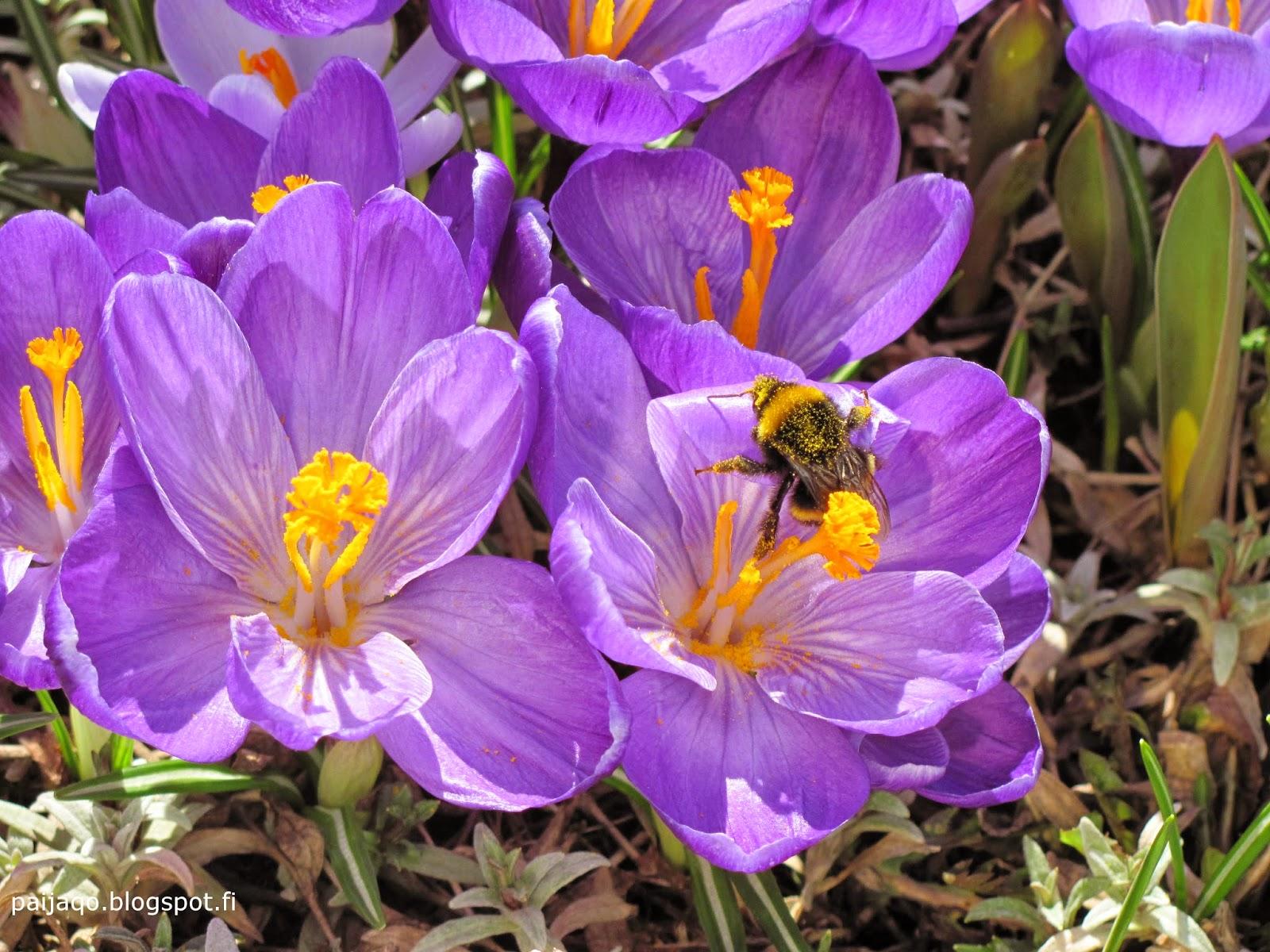 krookukset ja mehiläinen