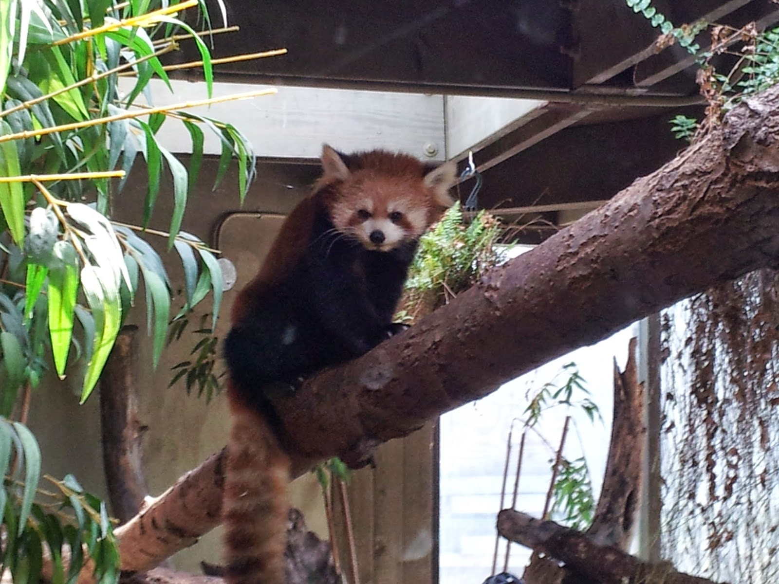 red panda, zoo, Toronto Zoo, animals, animal photography
