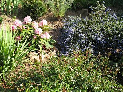 roses du jardin ch neland c anothe c anothus thyrsiflorus repens. Black Bedroom Furniture Sets. Home Design Ideas